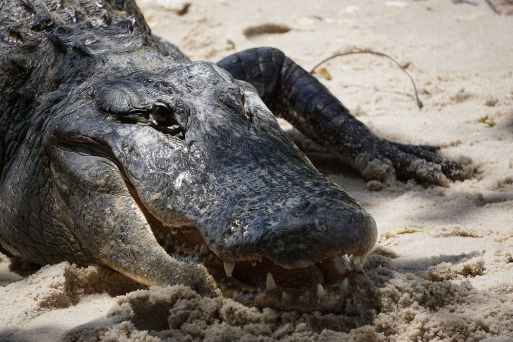 Alligator FArm